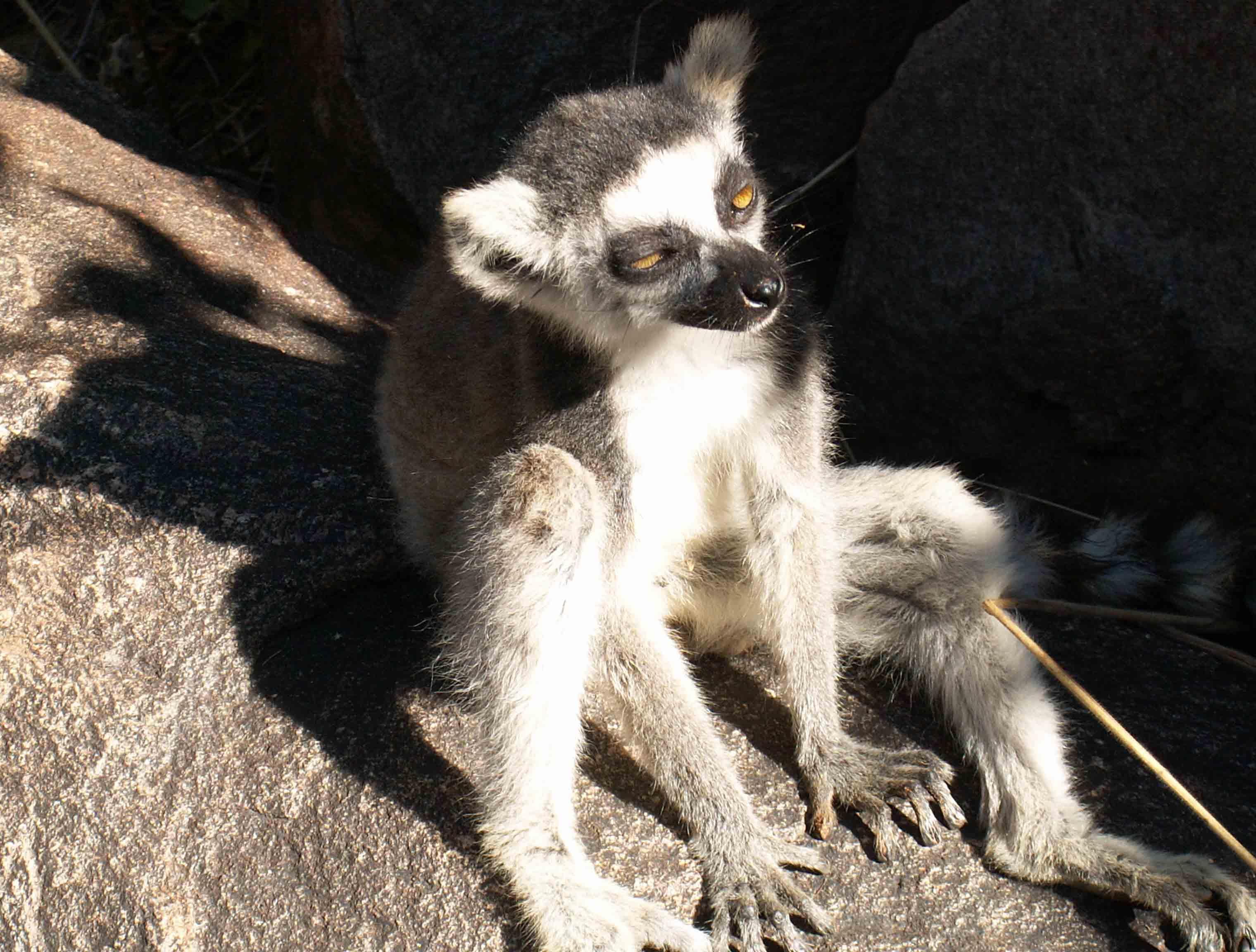 Lemurs Catta