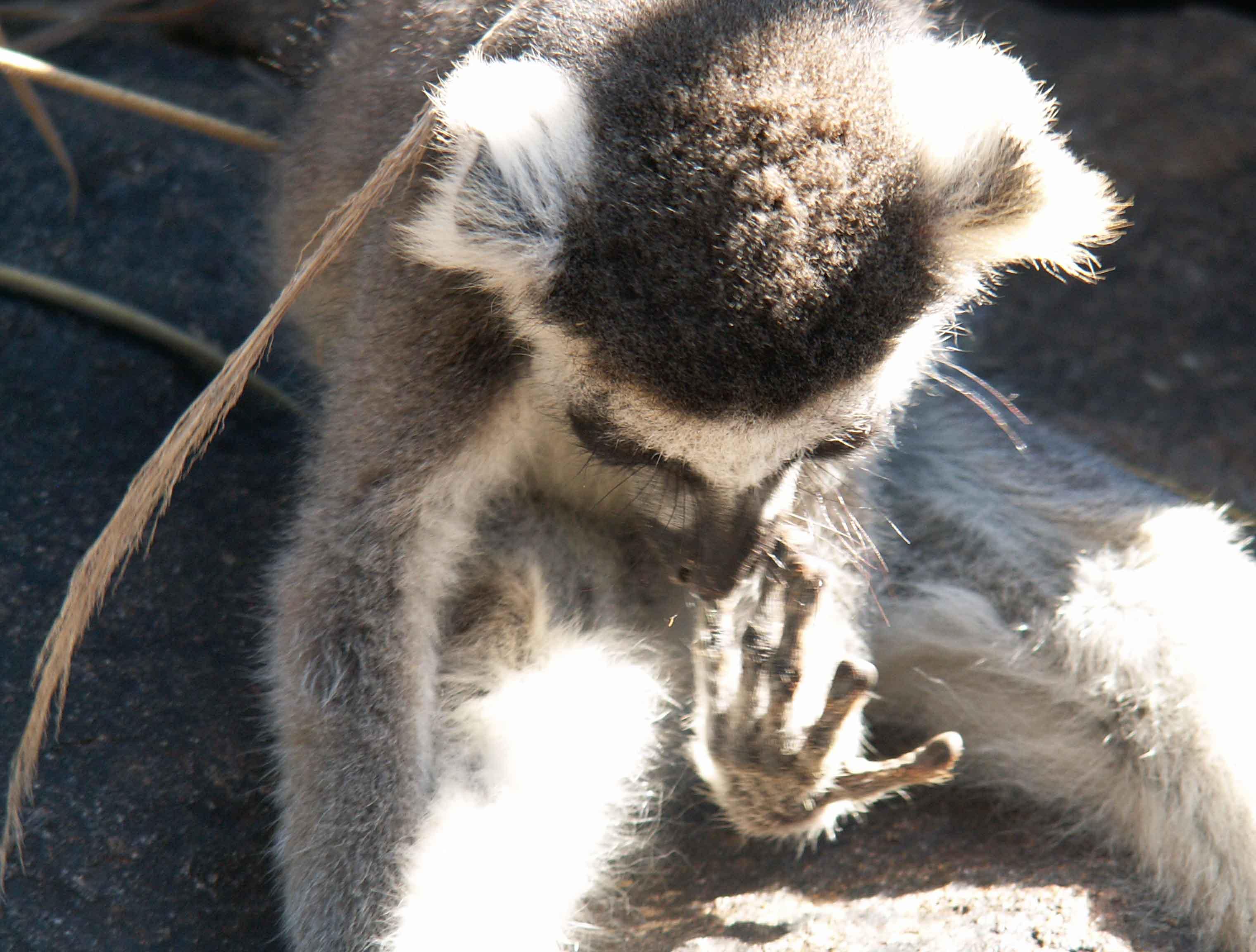 Lemurs-catta-maki