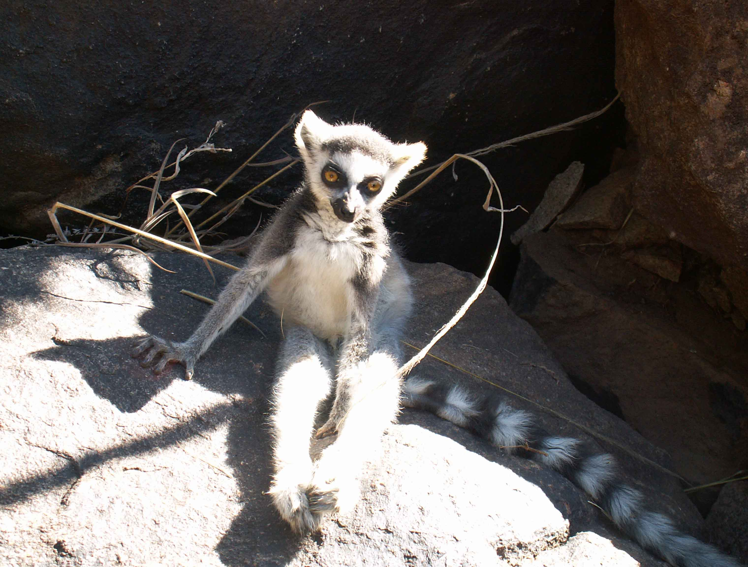 Ring-tailed lemur Maki