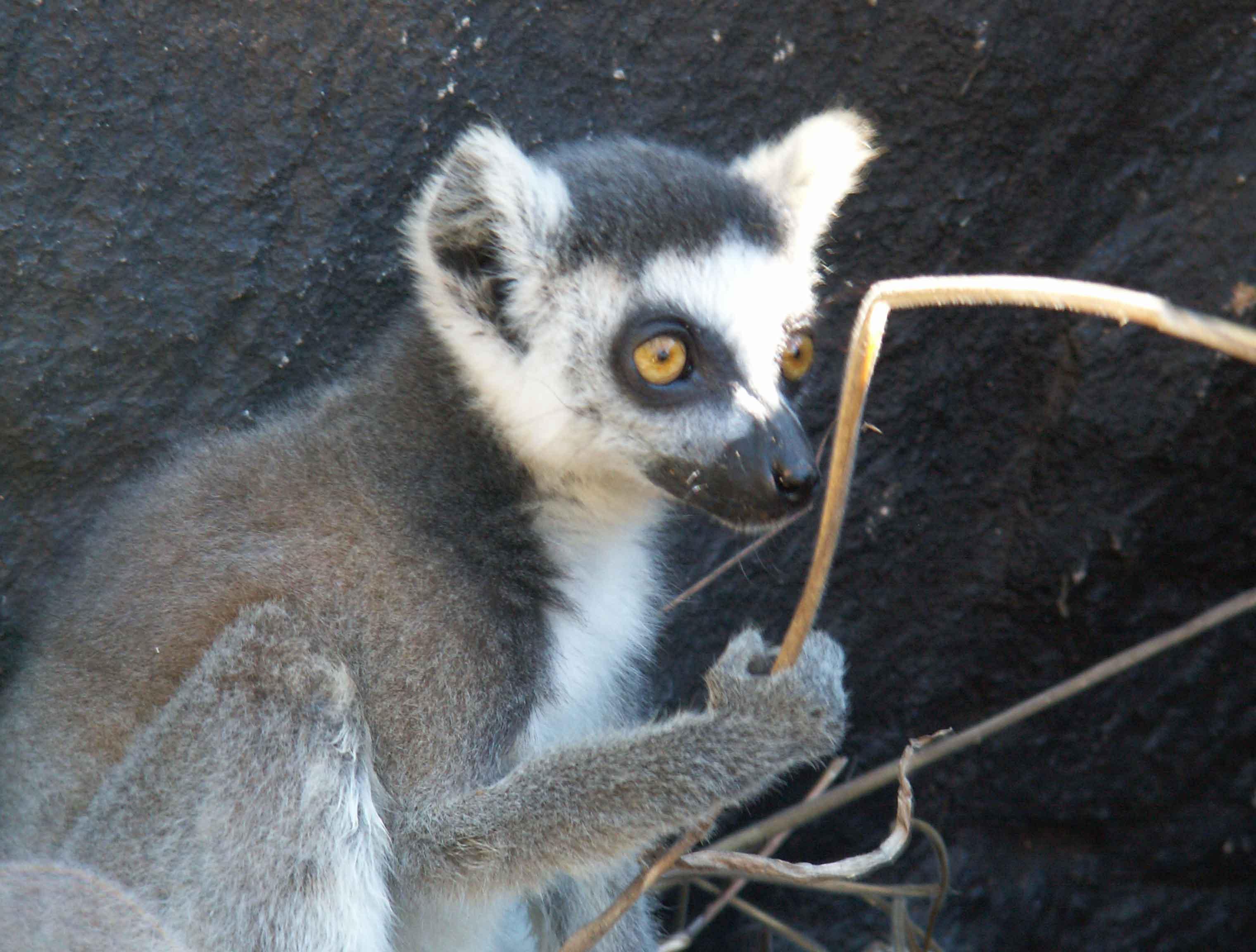 Lemurs'Park catta