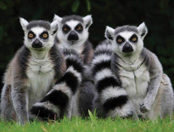 Lemur catta ou Maki