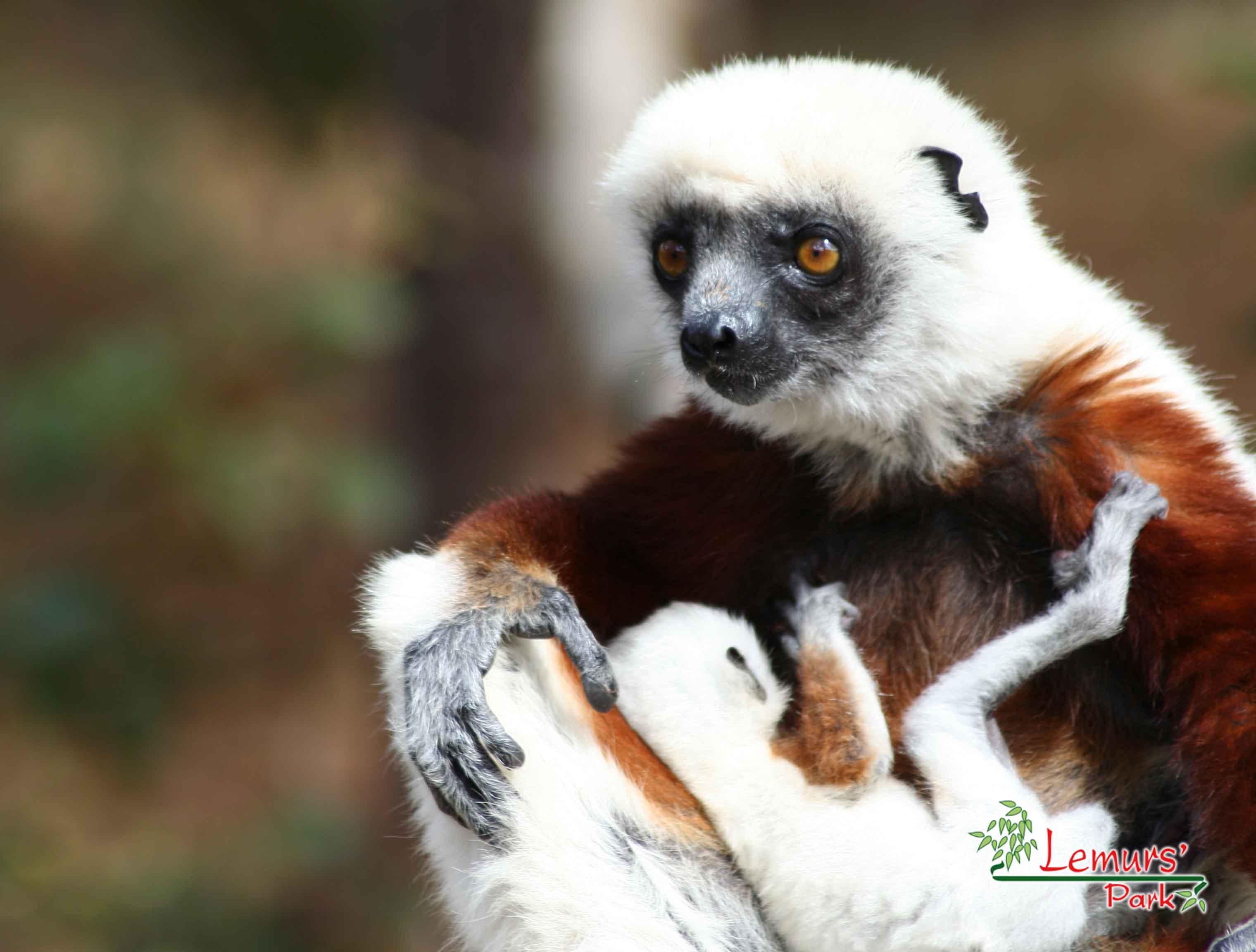 Lemurs Park Sifaka Lemur