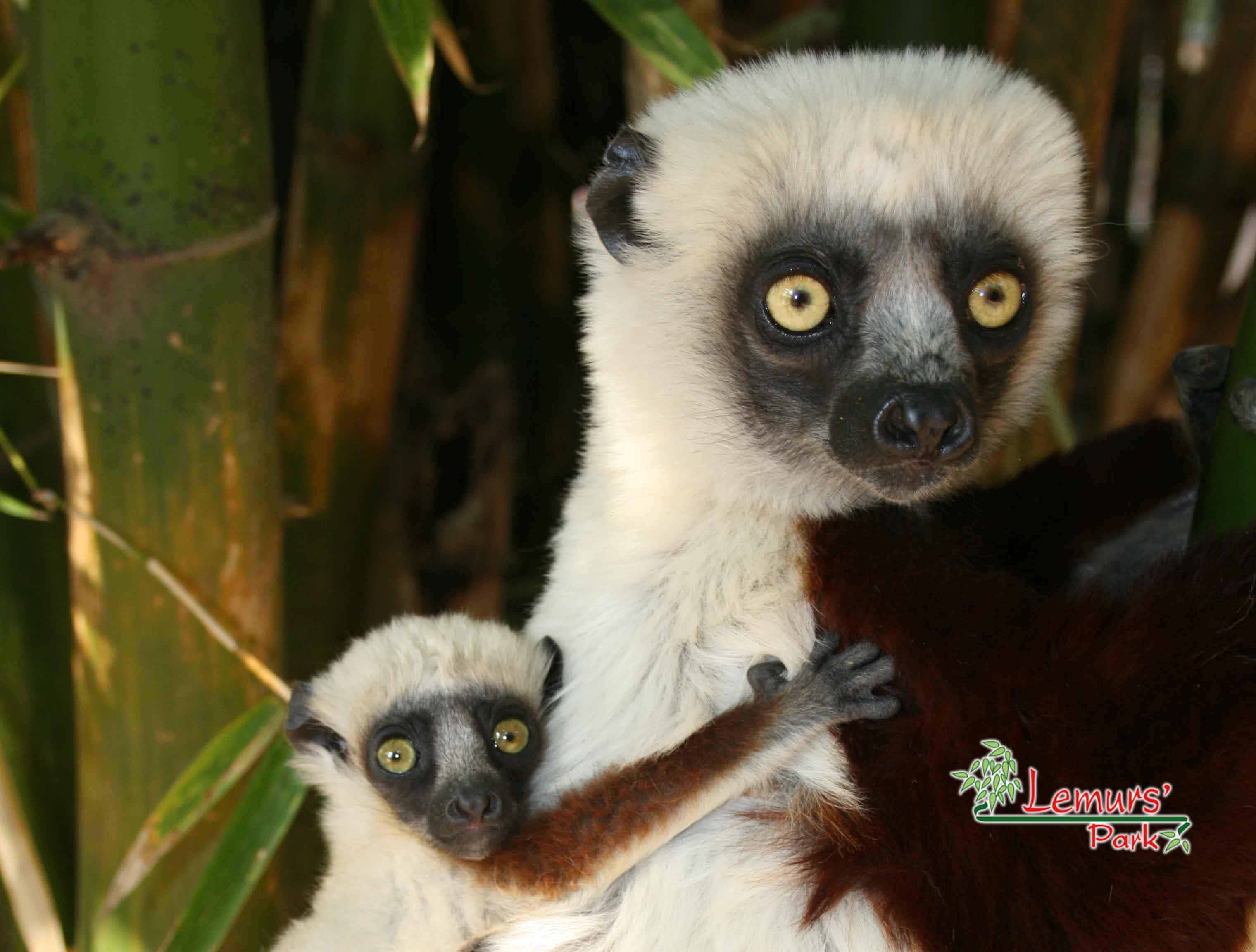 Lemurs'Park Sifaka Baby