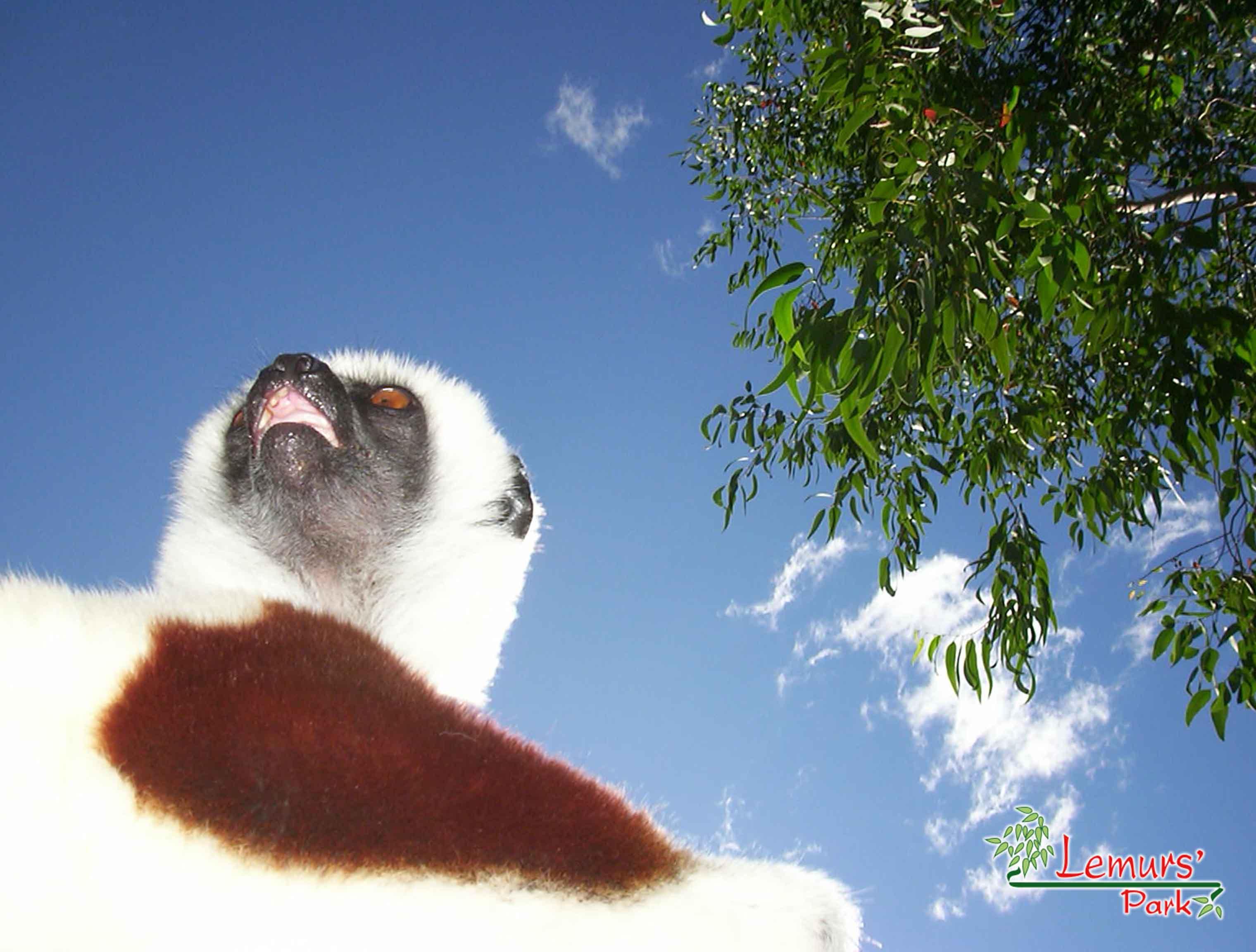 Lemurs Sifaka